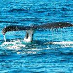 avistamiento ballenas buenaventura